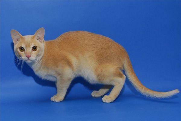 Бурманська кішка кремового окраса