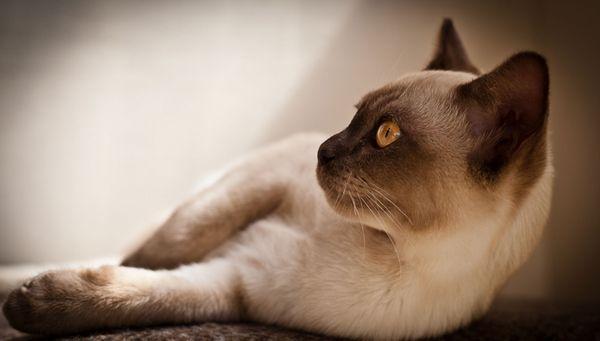 бурманська кішка на фото