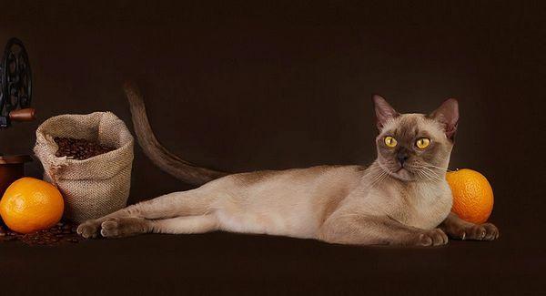 Шоколадна бурманська кішка