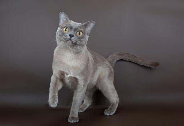 Блакитна бурманська кішка