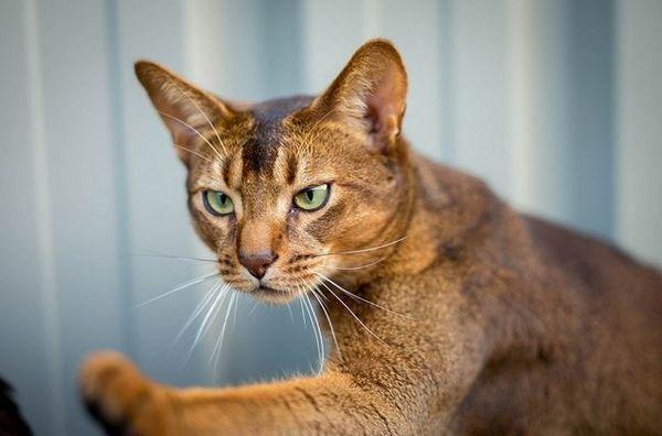 Burzitída u mačiek: diagnostika a liečba zápalu kĺbov