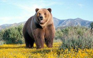 Бурий ведмідь проживає в різних частинах світу