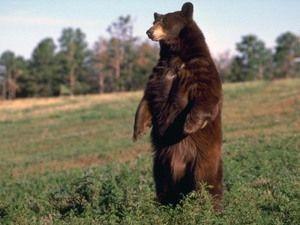 Бурий ведмідь вміє довго стояти на задніх лапах