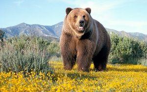 Medveď hnedý: kde žije, čo má a čo žerie