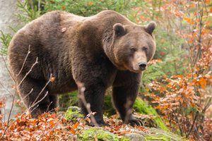 Характеристика бурих ведмедів