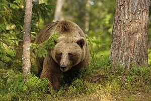 Опис способу життя бурих ведмедів