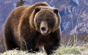 Види бурих ведмедів і їх характеристики