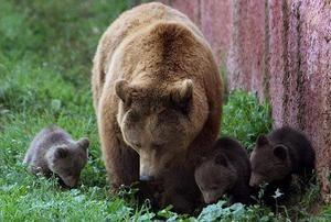 Особливості розмноження бурих ведмедів
