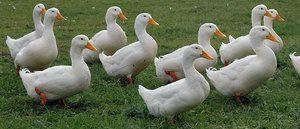 Čím môžete kŕmiť domáce alebo divé kačice?