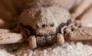 Каква е опасността от шестоглав пясъчен паяк: как изглежда, къде живее, какво да прави с ухапване