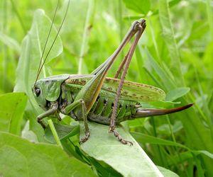 Čo jedáva zelená kobylka a prečo cvrliká?