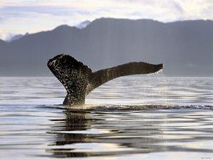 Príbeh vzhľadu veľrýb