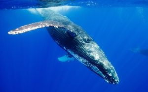 Ako vyzerá zvieracia veľryba?