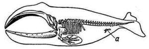 Kostra morskej veľryby