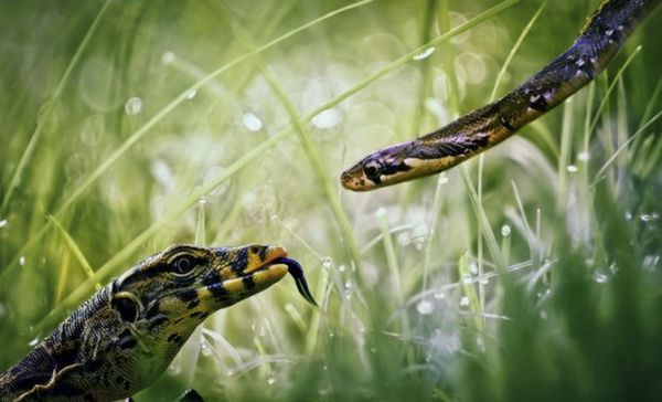 Had a jašterica