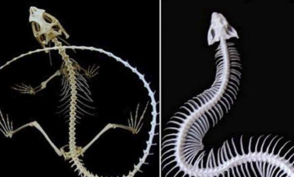 Kostra jašterice a hada