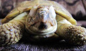 Костенурката не отваря подути очи: болести на червеноушата костенурка