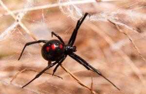 Черна вдовица у дома: струва ли си да вземете паяк в апартамента и до какво може да доведе ухапването