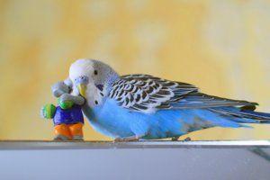 Какво да направите, ако пернат домашен любимец се страхува от собственика: как да изгради връзка с папагал