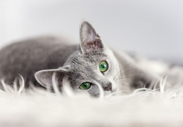 Choroba toxoplazmózy u mačiek