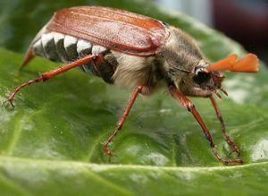 Čo jedia májové chrobáky?
