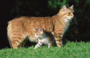 Koľko rokov žijú mačky doma?