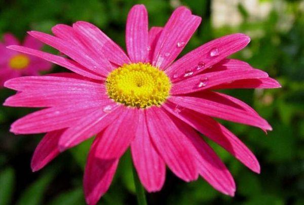 Ромашка кавказька рожева
