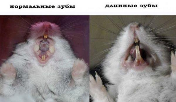 Zuby škrečka