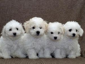 кімнатні собаки