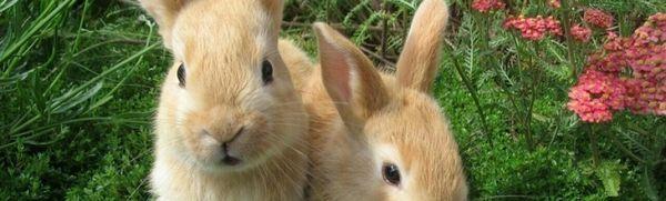 Dekoratívne králiky: vlastnosti chovu doma