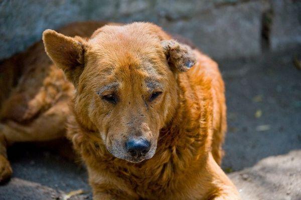 Демодекоз у собак (Локалізована форма)