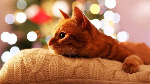 Руда кішка лежить