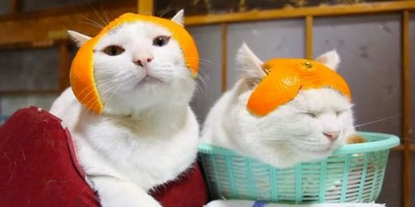 Коти в шапочках з апельсинової шкірки