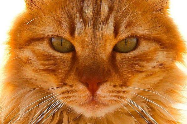 Морда рудого кота