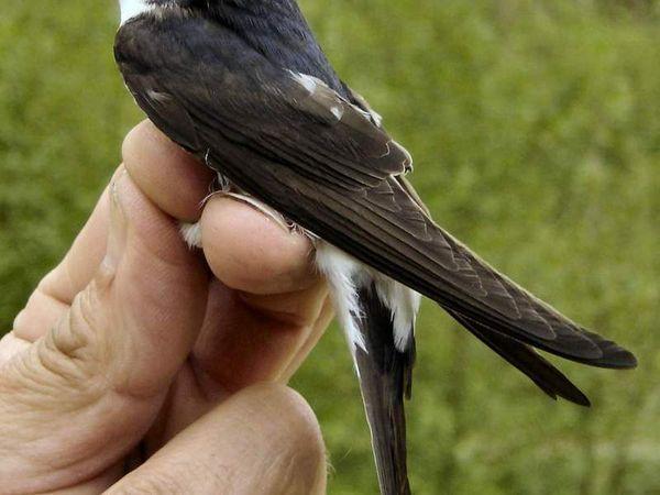 Опис птиці ластівки