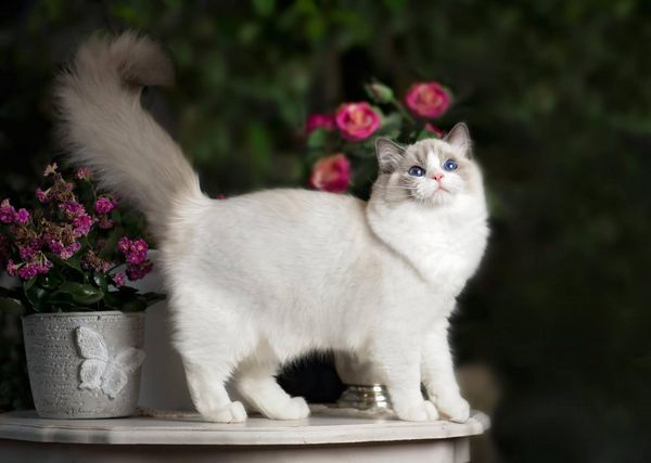 Кішка породи рег дол в кольорах