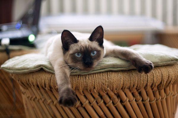 Сіамська кішка в кошику