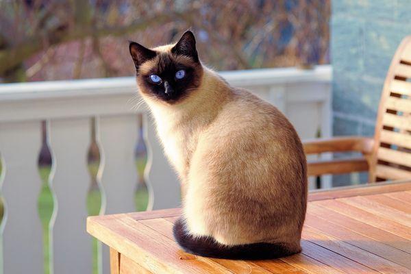 Сіамський кіт сидить на веранді