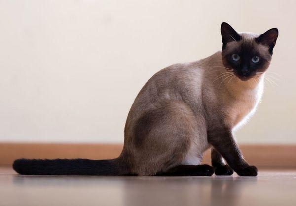 Кішка сіамської породи