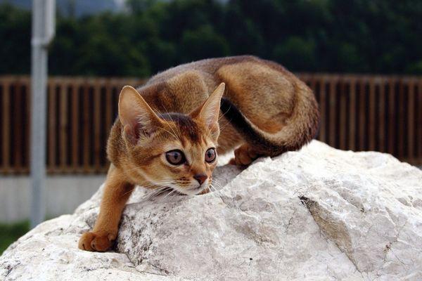 Кошеня абіссінської породи