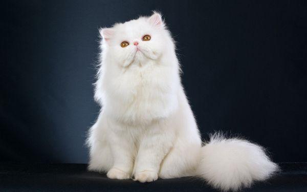 Біла перська кішка