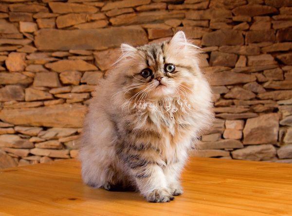 Кошеня перської породи