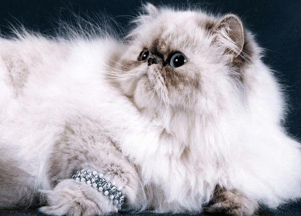 Персидська кішка з браслетом