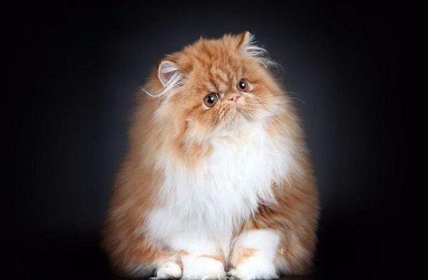 Руда перська кішка