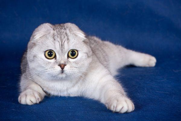 Чарівна висловуха кішечка