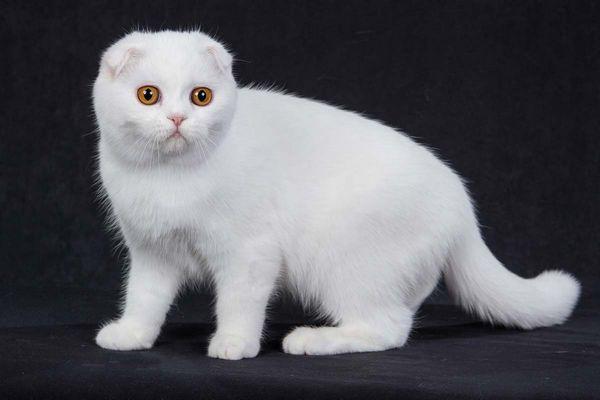 Біла висловуха кішечка