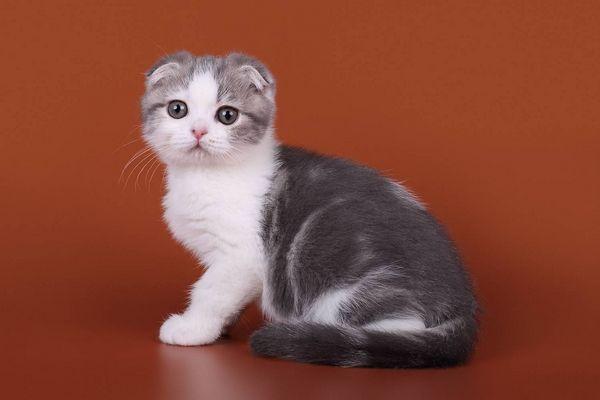 Кішка породи скоттиш-фолд