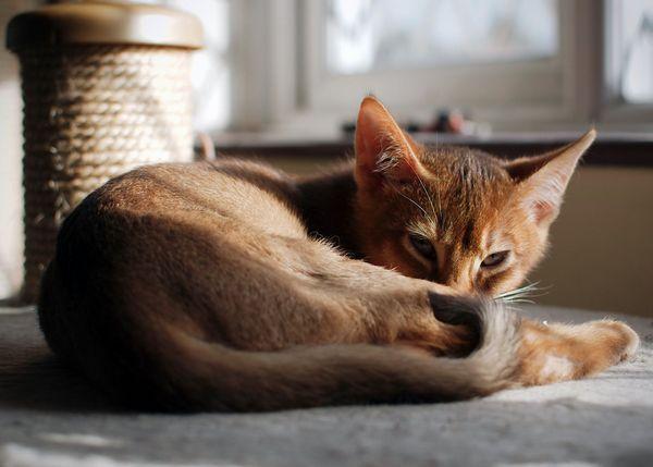 Абиссинская кішечка відпочиває