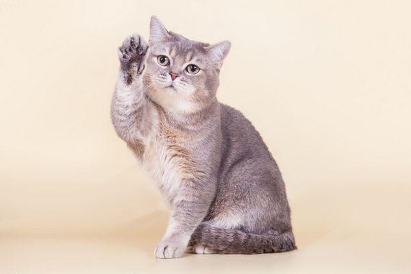 Британська кішечка грає