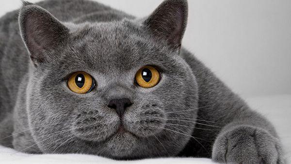 Мордочка кішки породи британська короткошерста